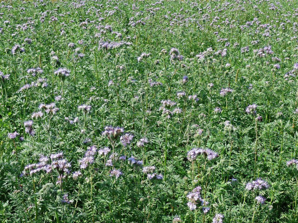 champ fleurs engrais verts mulch